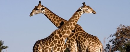 2-giraffes-hd-wallpaper